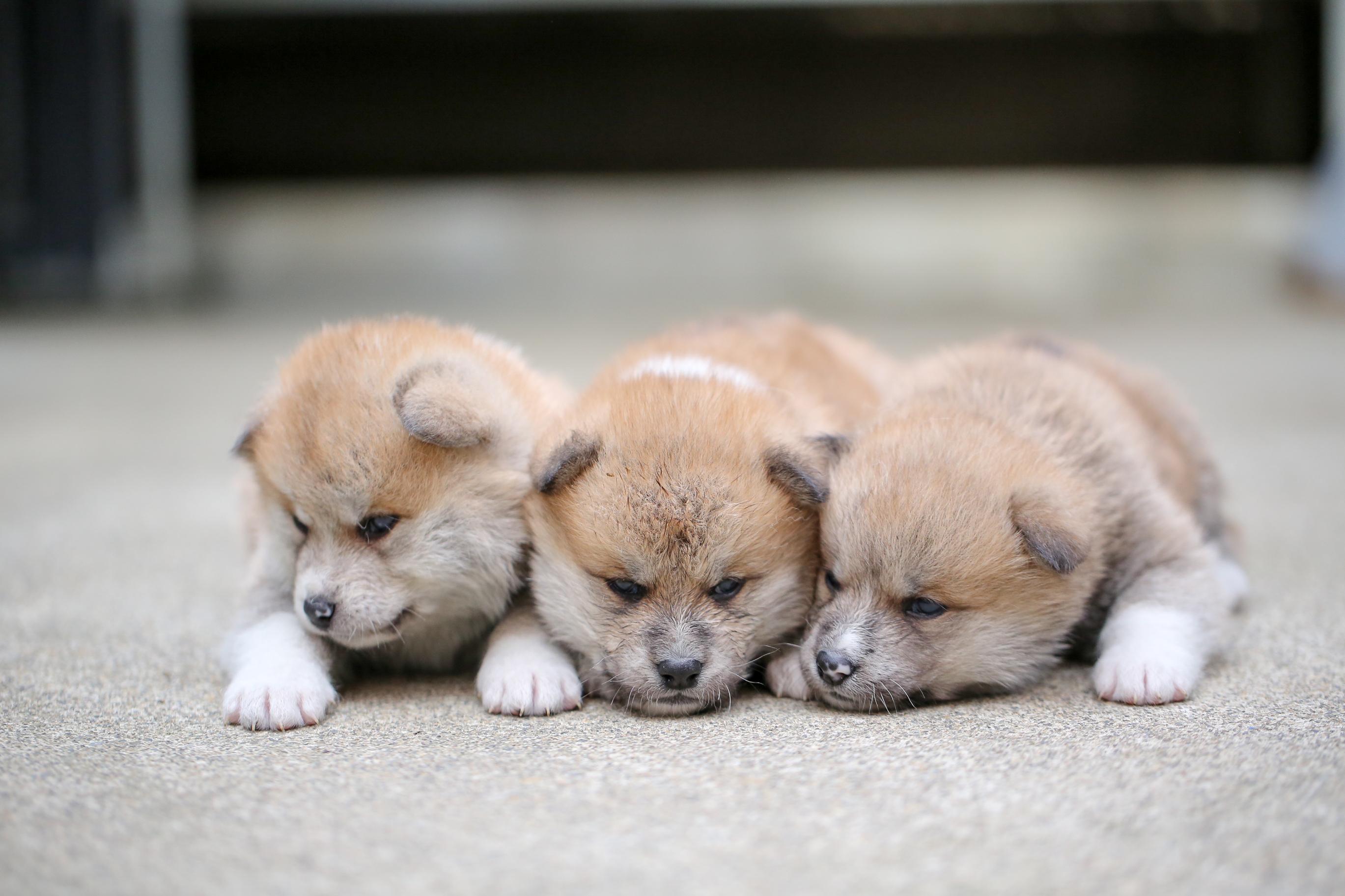 秋田犬の画像 p1_20